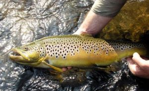 Magnificent Brown Trout caught by a fly fisherman on the Bushmans river